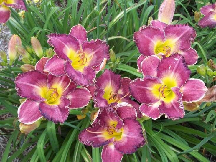 Lockridge couple hosting free lily tour