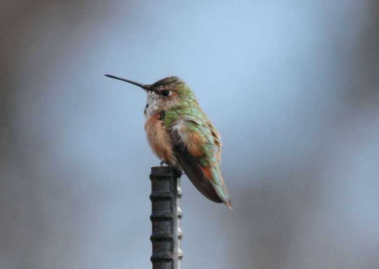Rufous hummingbird a rare find in Iowa