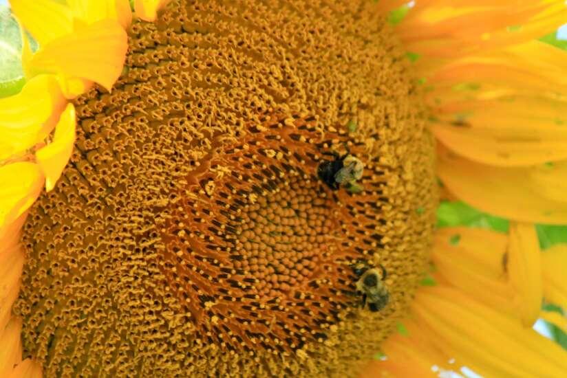 Sunflower field offers sense of wonder