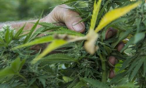 Pick your own hemp at this Eastern Iowa farm