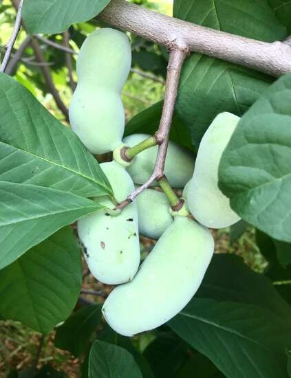 Help foster a pawpaw tree in the Corridor