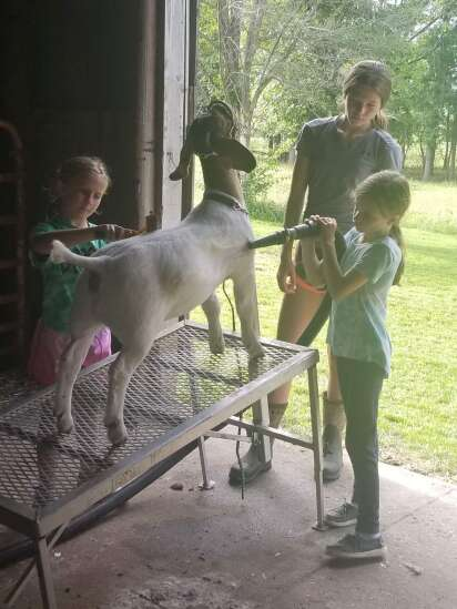 4-Hers and Clover Kids work together through goat mentoring