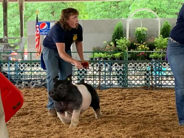 Doud tries his hand at showing hogs