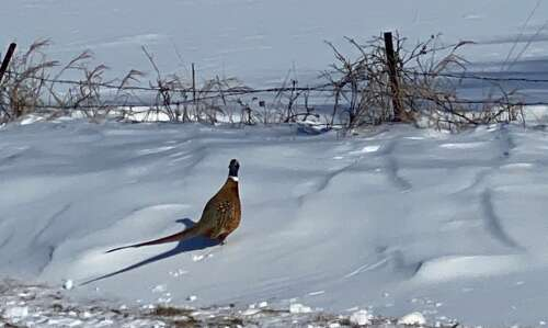 Another pheasant feast on horizon in 2021