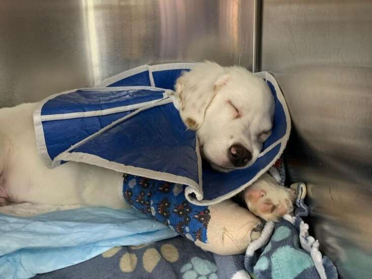 12-week-old puppy with broken legs turned over to Cedar Rapids rescue, animal control investigating